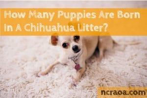 Chihuahua litter size