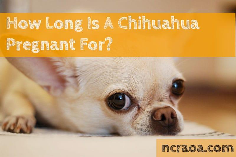 Chihuahua pregnant calendar