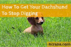 Dachshund in grass
