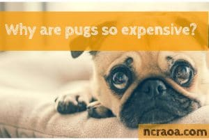 why are pugs expensive