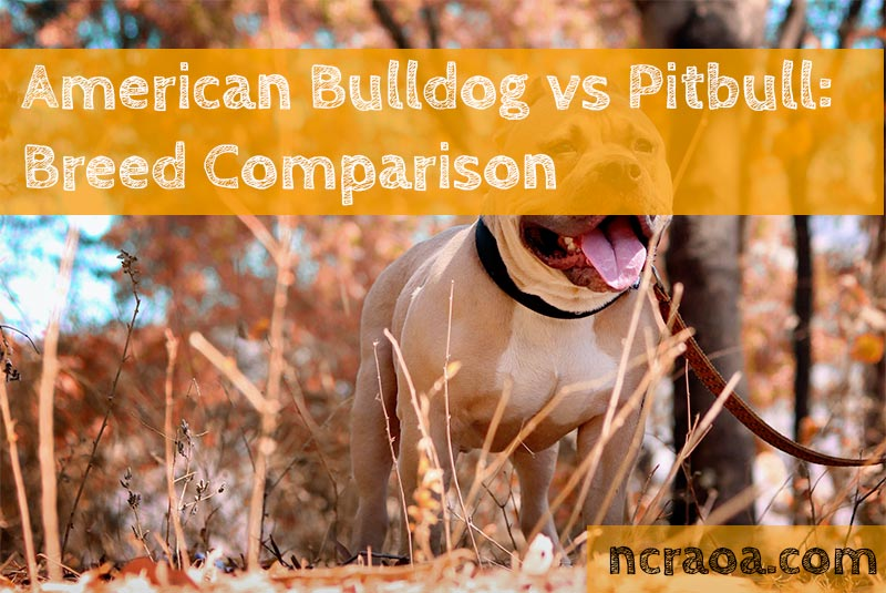 american bulldog vs pitbull terrier