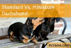 Standard Vs. Miniature Dachshund