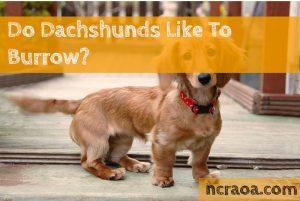 dachshunds burrow