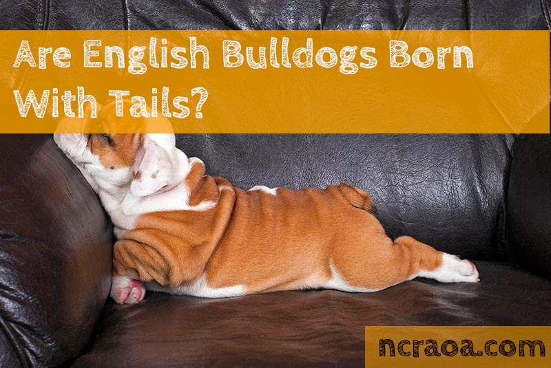 english bulldogs born with tails
