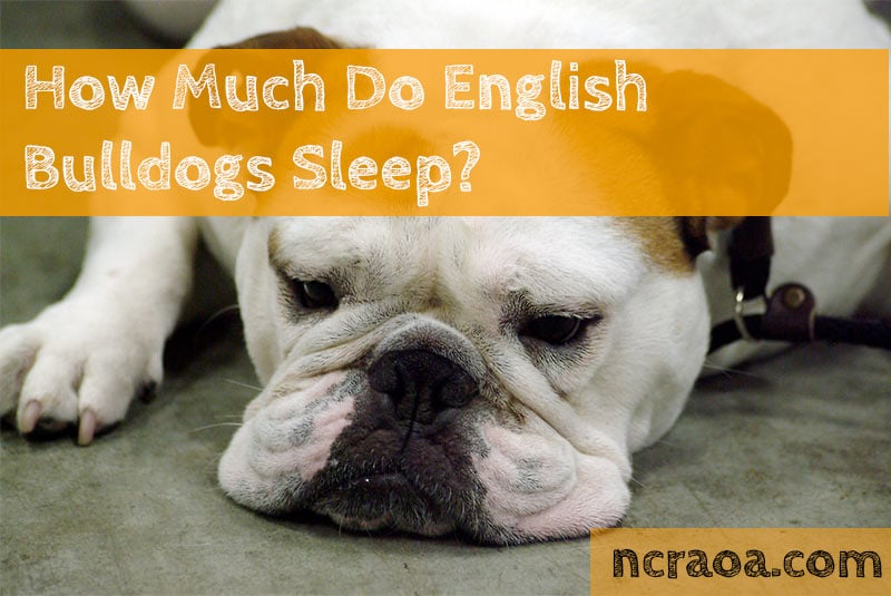 english bulldogs sleep