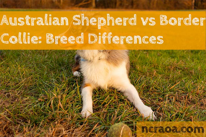 Australian Shepherd vs Border Collie: Breed Differences