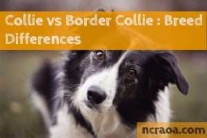 Collie vs Border Collie : Breed Differences