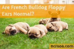french bulldog floppy ears