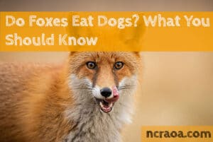 do foxes eat dogs