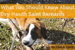 dry mouth st bernard breed info