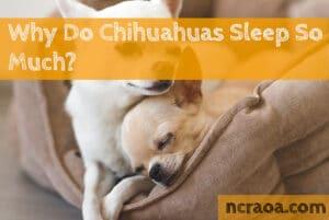 chihuahuas sleep so much