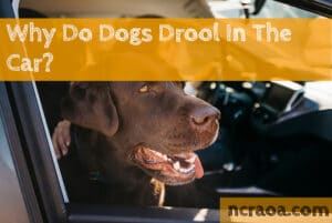 dog drooling in car