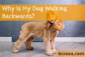 dog walking backwards