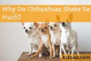 why chihuahuas shake