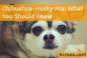 Chihuahua Husky Mix