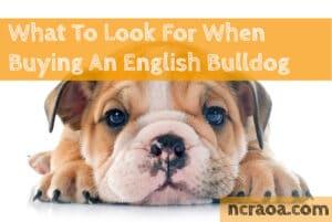 buying an english bulldog puppy