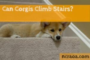 corgi stairs