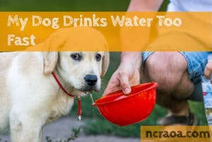 dog drinks water too fast