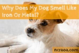 dog smells like metal