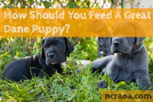 feeding great dane puppies