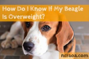 overweight beagle