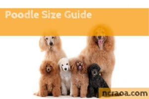 poodle sizes