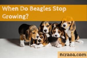 beagles stop growing