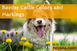 border collie colors markings