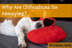 chihuahuas annoying
