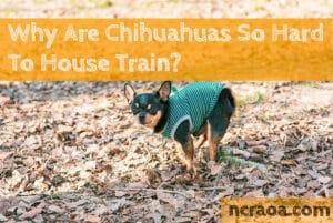 chihuahuas hard to house train