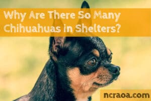 so many chihuahuas in shelters