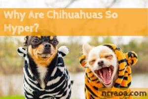 chihuahuas so hyper
