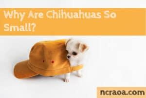 chihuahua so small