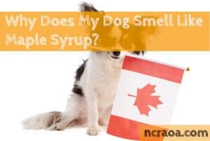 dog smells maple syrup