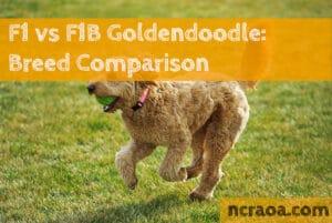 F1 vs F1B Goldendoodle: Breed Comparison
