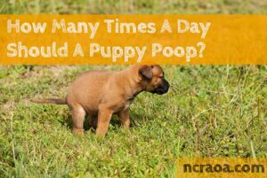 puppy poop frequency