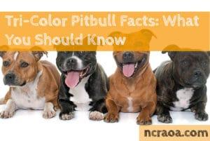 tri-color pitbulls