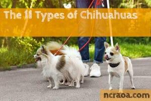 types of chihuahuas