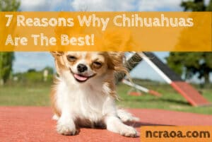 why chihuahuas the best
