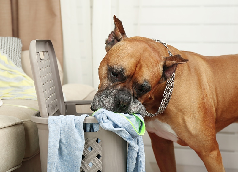 dog eating clothes in laundry basket