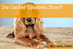 Do Cocker Spaniels Shed?
