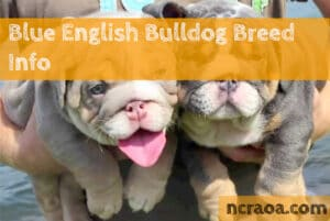 blue english bulldog breed
