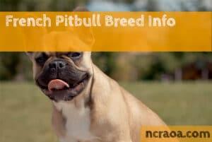 french pitbull