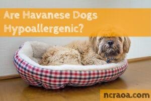 havanese hypoallergenic