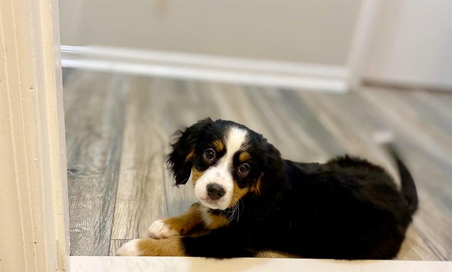 mini bernese mountain dog