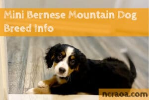 mini bernese mountain dog breed