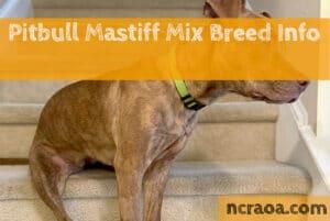 Pitbull Mastiff Mix Breed Info