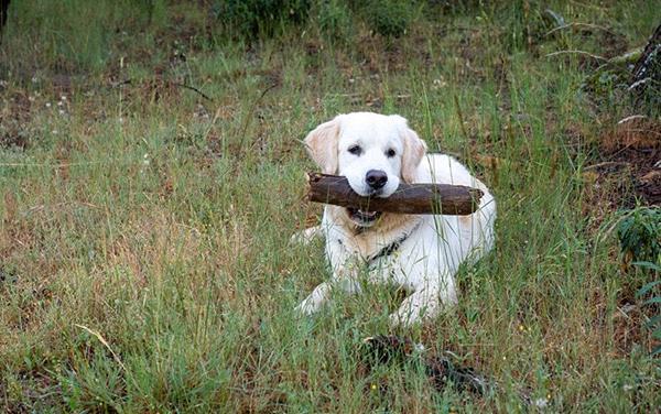 dog with large stick