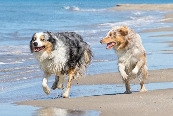 aussie shepherds at beach