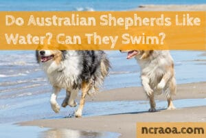 australian shepherds like water